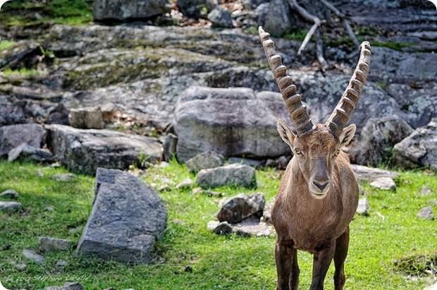 Альпийский горный козел, козерог или ибекс (лат. Capra ibex)