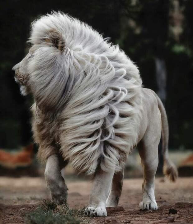 Великолепная грива льва очаровала весь мир.