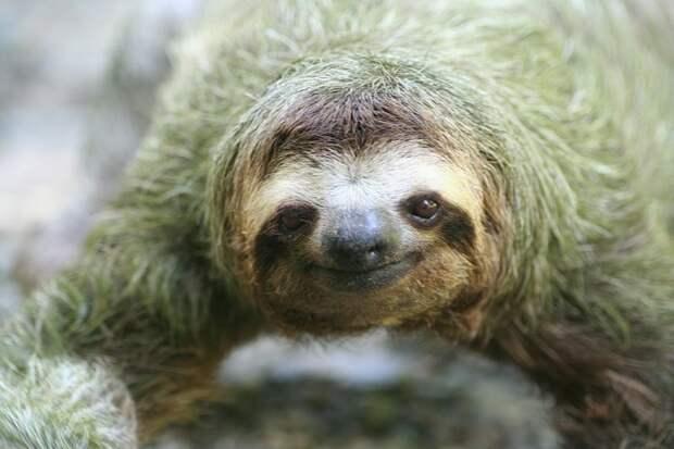 17 удивительных фактов о ленивцах 7