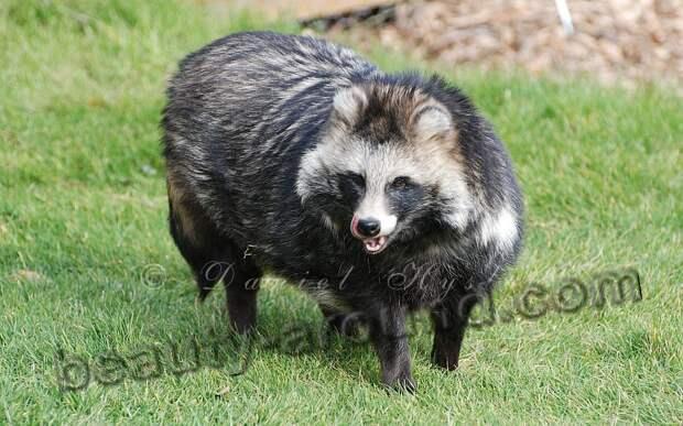 Енотовидная собака (уссурийская лиса, уссурийский енот)