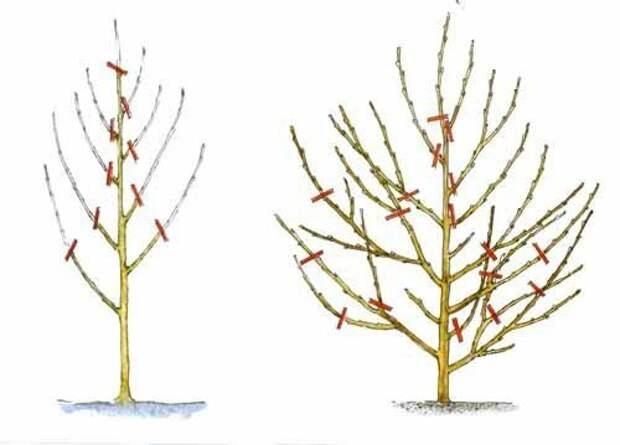 Формировка и обрезка персика Лайфхак, дача, огород, полезные советы, сад
