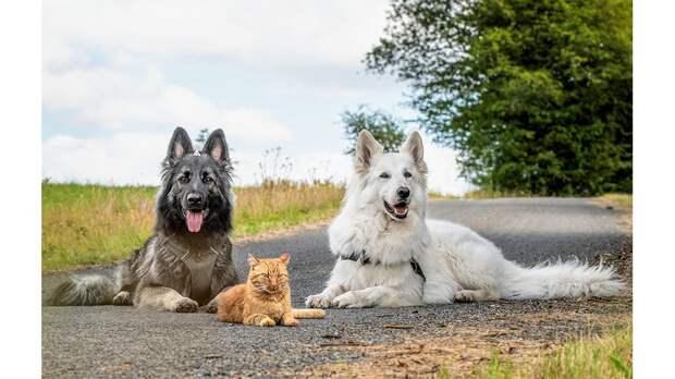 Кот с сердитым «лицом» растет с собаками и считает себя одной из них