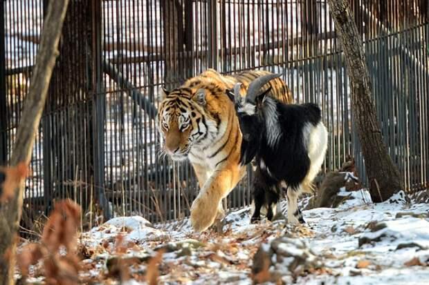 Тигр и козел из приморского сафари-парка полюбили играть в футбол