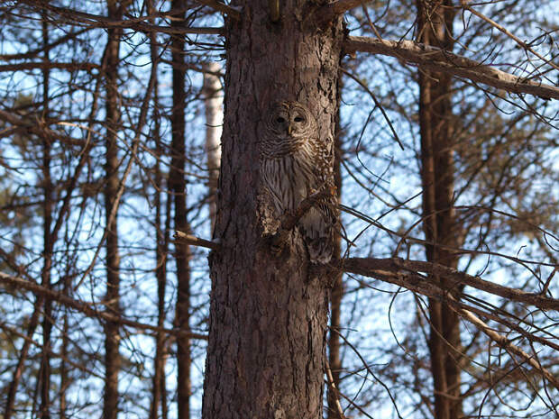 owl-camouflage-disguise-9
