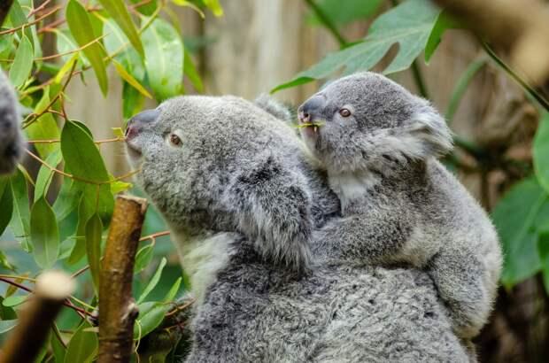 В Австралии заявили о вымирании коал