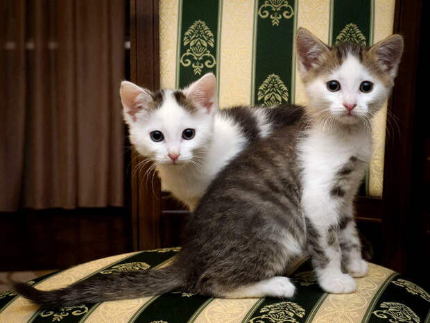 Пятничные котята Чук и Гек – без человека им никак!