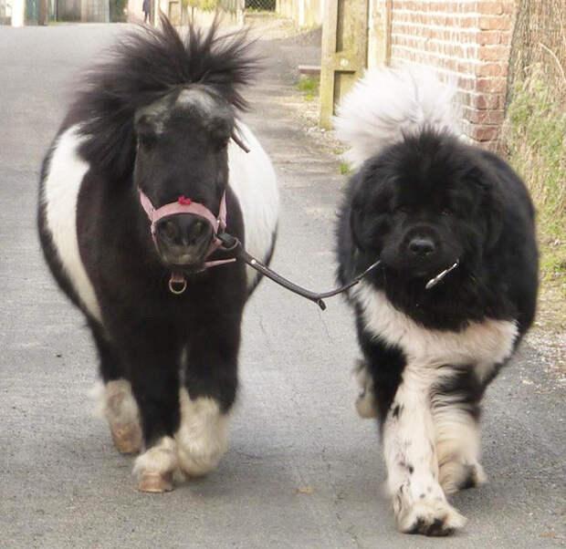 2. Маленькая пони и большая собака размер, собака