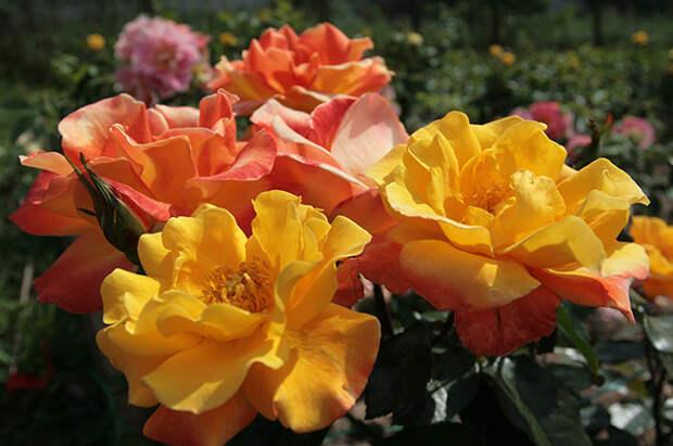 Жёлтые розы - желанные гостьи в любом саду