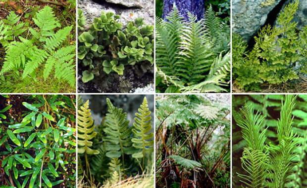 Папоротниковидные растения