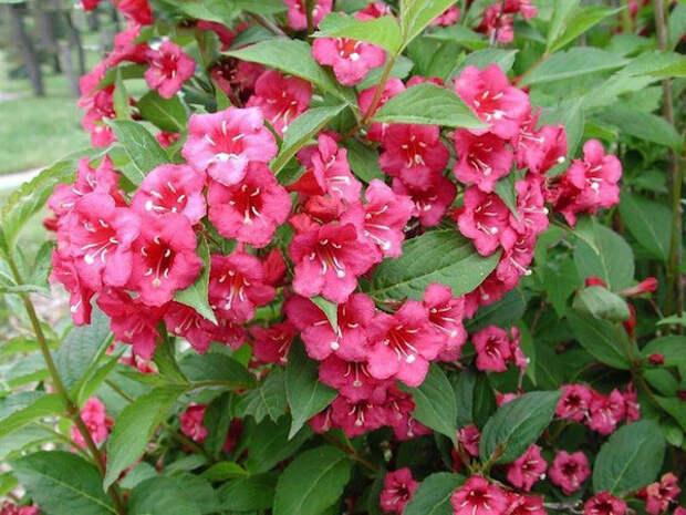 Без вейгелы бристоль руби цветник – не цветник