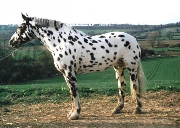 Леопардовая животные, красота, лошади