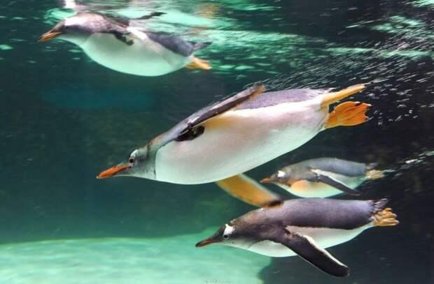 Почему пингвины так быстро плавают?