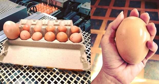 Фермер нашел гигантское яйцо под курицей. Содержимое удивило не только его