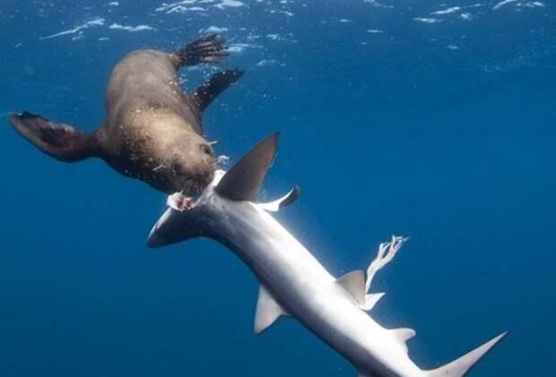 Тюлени стали охотиться на акул и поедать их внутренние органы