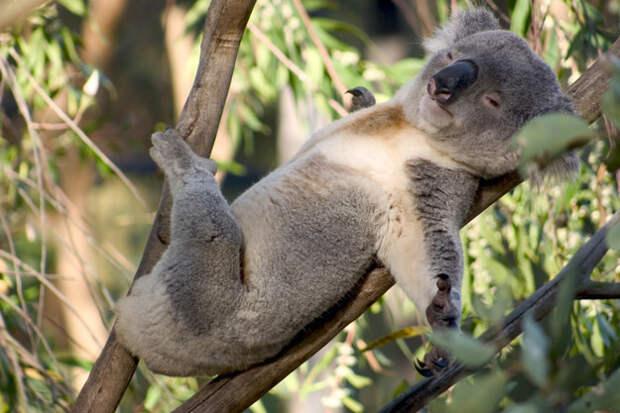 Ты когда-нибудь думал о том, что из себя представляют коалы? видео, животные, коала, ужас