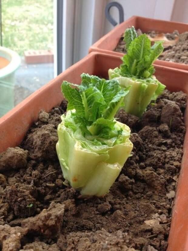 8 овощей, которые можно прорастить снова