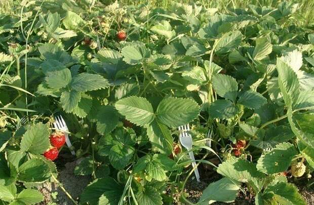Очень интересная и полезная идея — вилка-подпорка для ягод