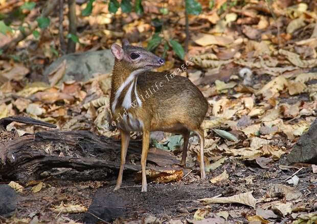 Javamousedeer07 Канчиль   удивительный олень малютка из тропиков