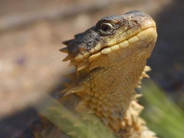 7 фото ручного дракона – поясохвоста