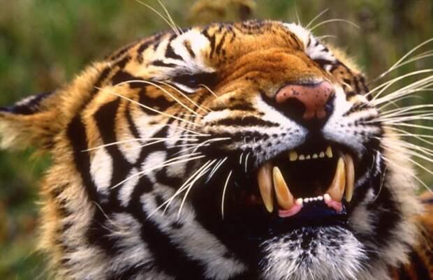 Чампаватская тигрица: рекордсмен по количеству человеческих жертв