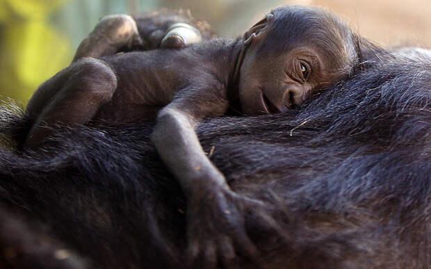 Маленькая горилла