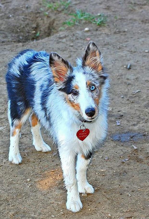 Гетерохромия: добрые собачки с разноцветными глазами (15 фото)