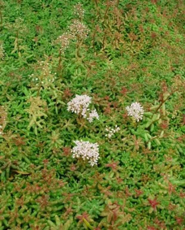 очиток Coral Carpet