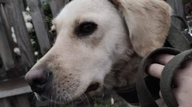 Собачье сердце разбивали дважды, и красотка Мая до сих пор ждёт, когда её приютят…