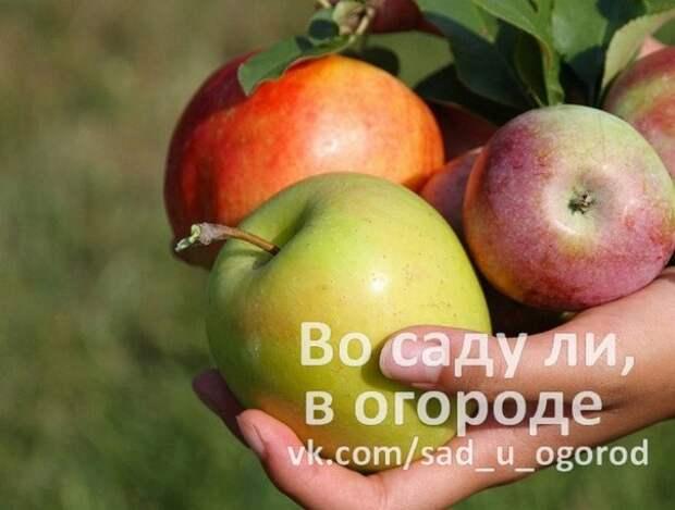 Здоровые яблоки. Секреты успеха.