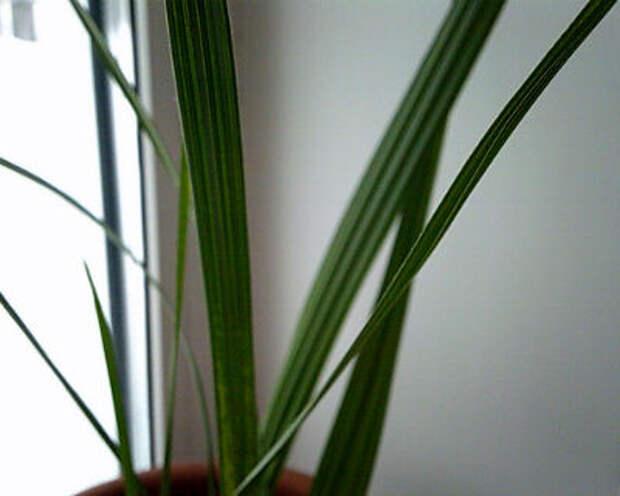 Финиковая пальма в домашних условиях. Финиковая пальма из косточки