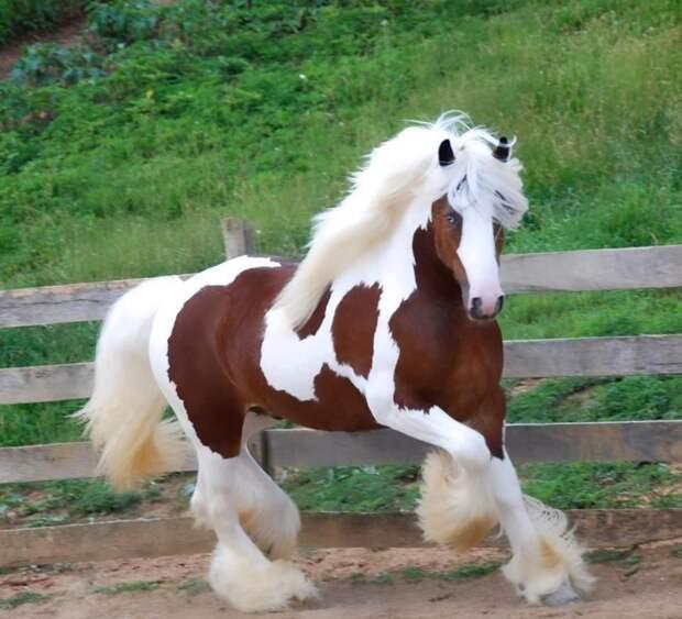 25 чудесных лошадей, от красоты которых перехватывает дыхание животные, красота, лошади