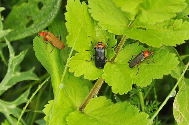 Три мягкотелки: Мягкотелка цветочная (Cantharis livida), Мягкотелка яркая (Cantharis pellucida) и Мягкотелка красноногая или деревенская (Cantharis rustica)