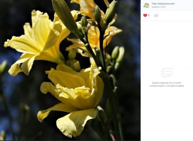 Фото дня: желтые лилии в Бабушкинском парке