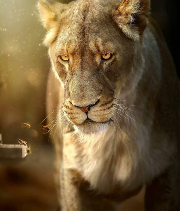 Фотограф борется за сохранение царственных зверей.