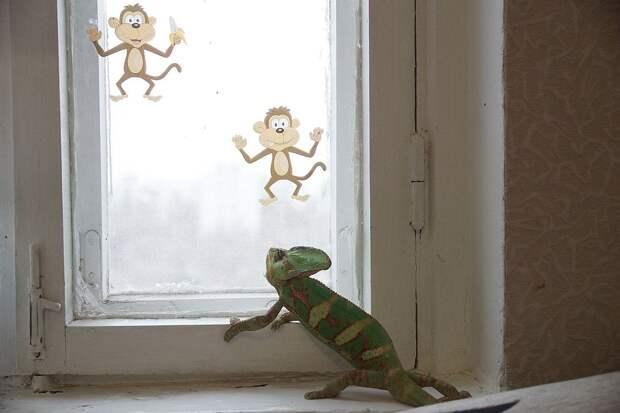 Хамелеон Вася иногда любит с тоской наблюдать, что там за окном Фото: Светлана МАКОВЕЕВА