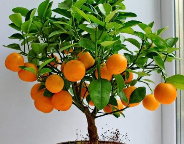 Размножение мандарина в домашних условиях