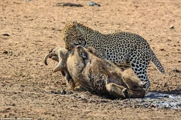 Заключительные моменты: Леопард склонился над жертвой, готовясь её съесть бородавочник, животные, леопард, охота, природа