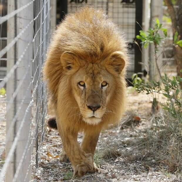 Транспортировка львов из Южной Америки в Южную Африку заняла двое суток.