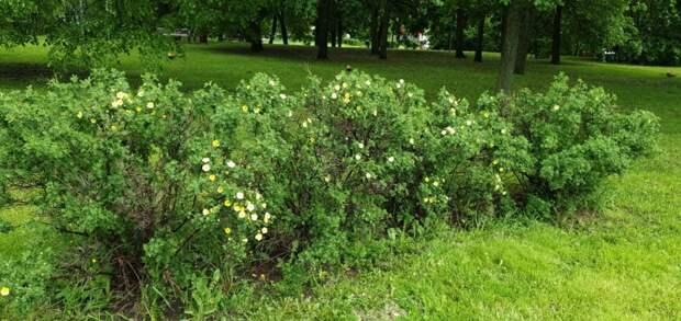 Курильский чай зацвёл в Лианозовском парке