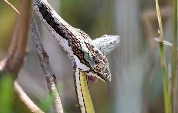 Змея каннибал 11