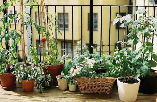 3-27-09_balcony_garden.jpg ЦВЕТЫ 3 (500x327, 51Kb)
