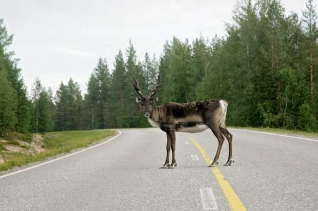 Однажды она даже сбила оленя. |Фото: zabaka.ru.