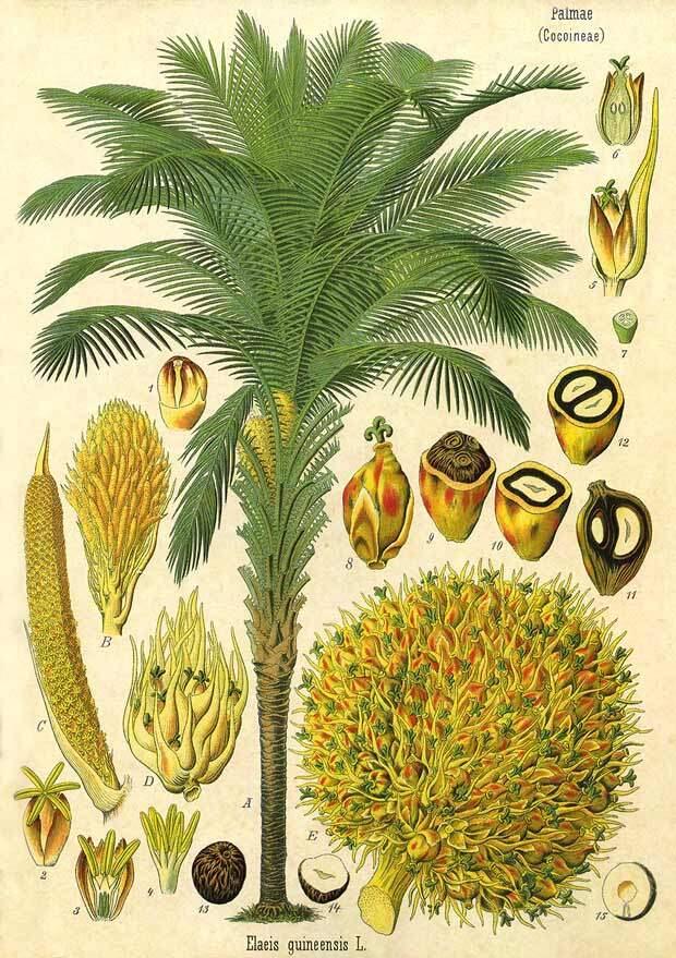 Четыре мифа о пальмовом масле