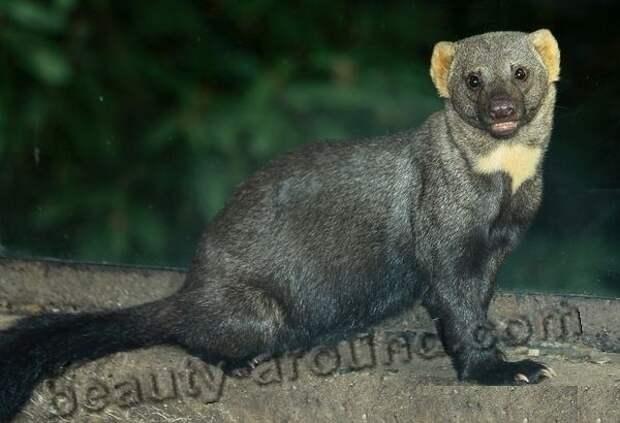Тайра фото животных из которых делают меховые изделия