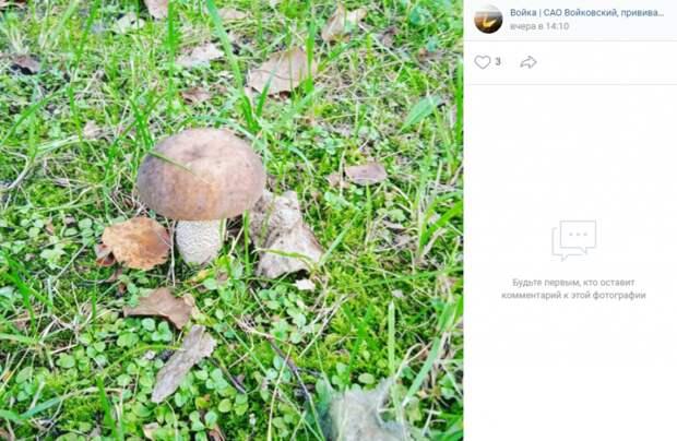 Фото дня: в Войковском нашли крупный подберезовик