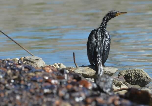 Загрязнённая нефтью птица
