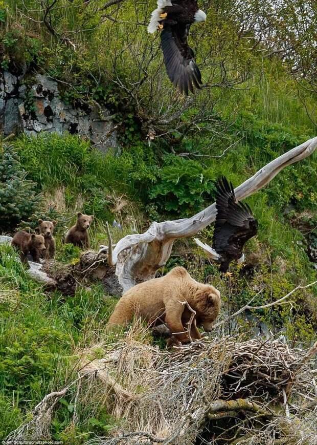Появляются еще птицы. Все спешат на помощь! аляска, заповедник, медведица атакует, медведица с медвежатами, орел, орлиное гнездо, орлы, природа