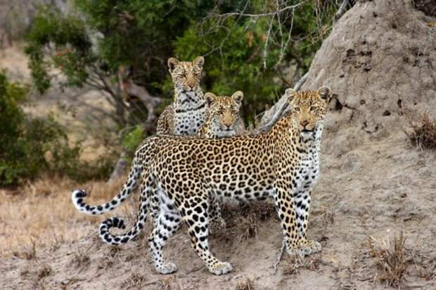 23. Анатолийский леопард кошки, природа