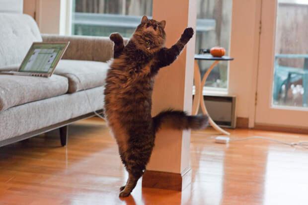 Максимальная зарегистрированная длина тела кошки составила 1,23 метра. Рекорд принадлежал коту по кличке Стьюи породы мейн-кун. (Matt Biddulph)
