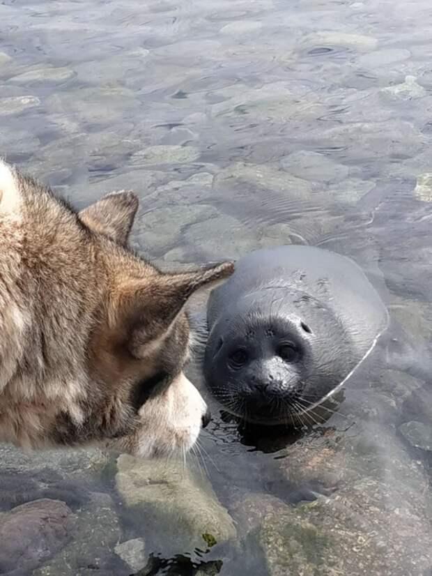 Пес помог выходить детеныша нерпы думая, что это щенок